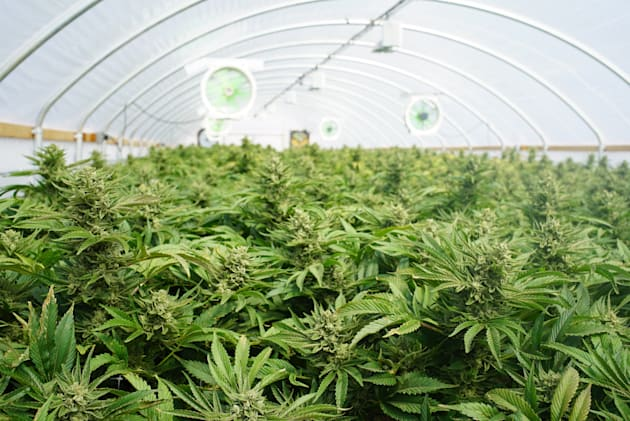 Medical Cannabis Available For Sale In Australia In Just