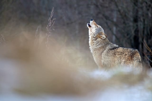 Wolf population explosion in Europe as predators now 'at the gates of Paris'