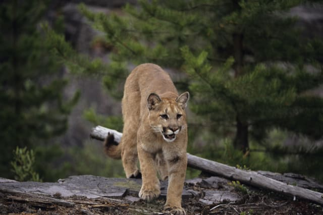 Cougar (Felis concolor) walking in woodland Summer, Montana, USA