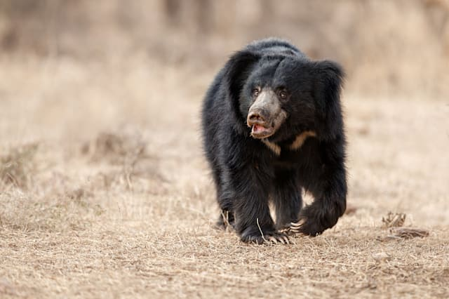 Big beautiful sloth bear male is searching termites