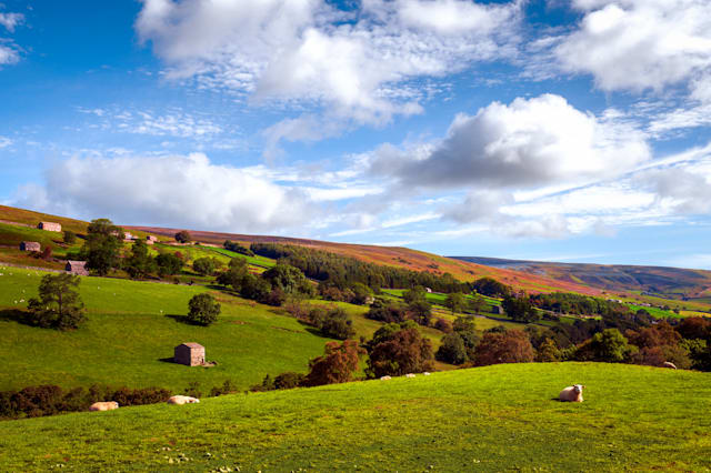 Sheep in a field, Swaledale, Yorkshiire Dales, UK