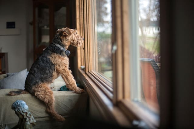 Fall 2012A Mutt is looking out the window, watching as people go by. A very funny dog, sitting like a human, perched and attenti