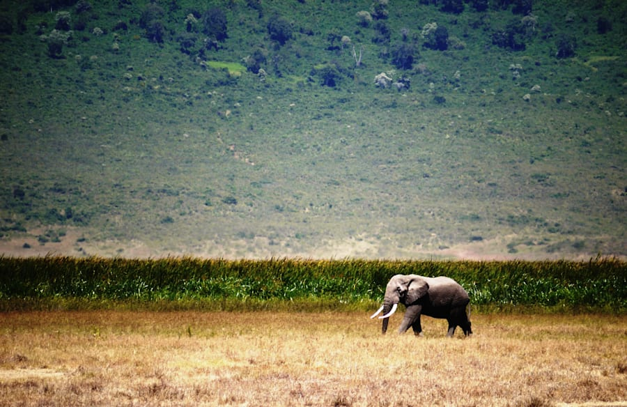 An elephant strolls through the wilds of northern
