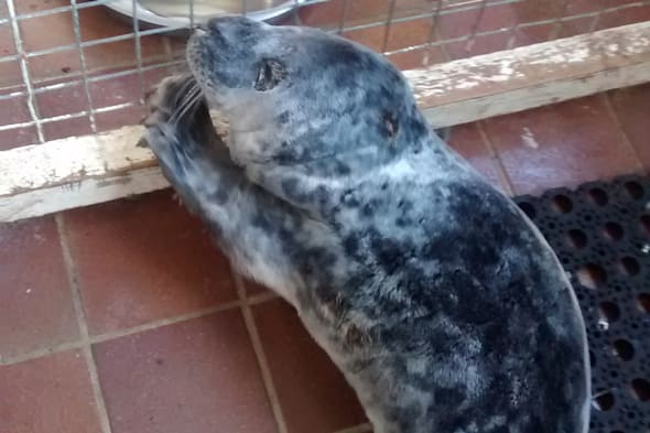 Seal pup washes up in Welsh carpark (cute pic)