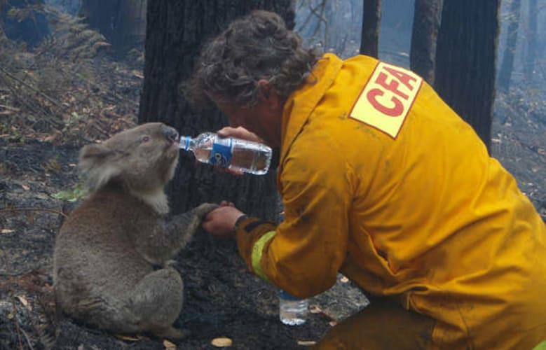 A koala is given a drink of water by a volunteer near Melbourne in