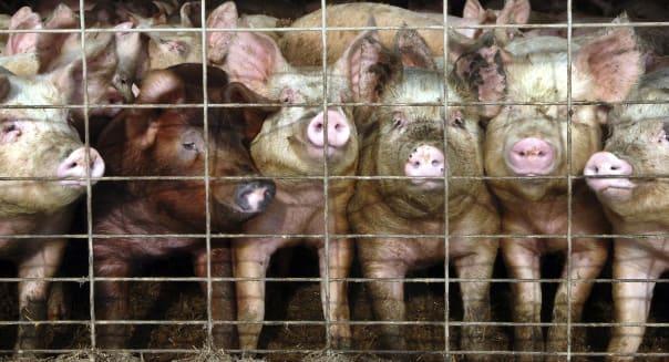 Pig Virus North Dakota