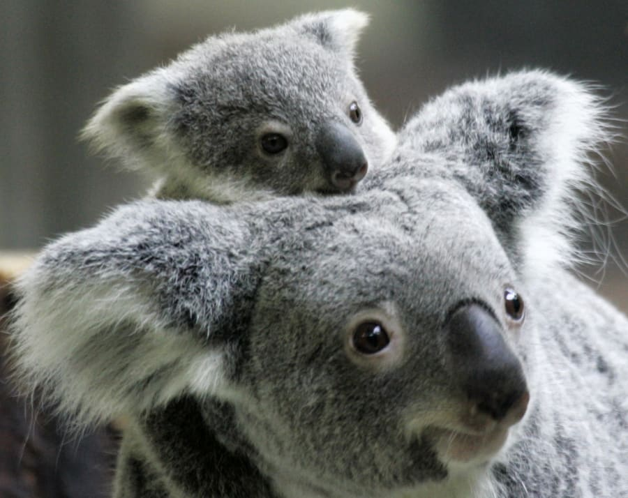 The next generation of koalas is looking