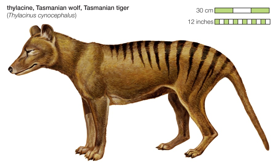 The Tasmanian Tiger became extinct in the