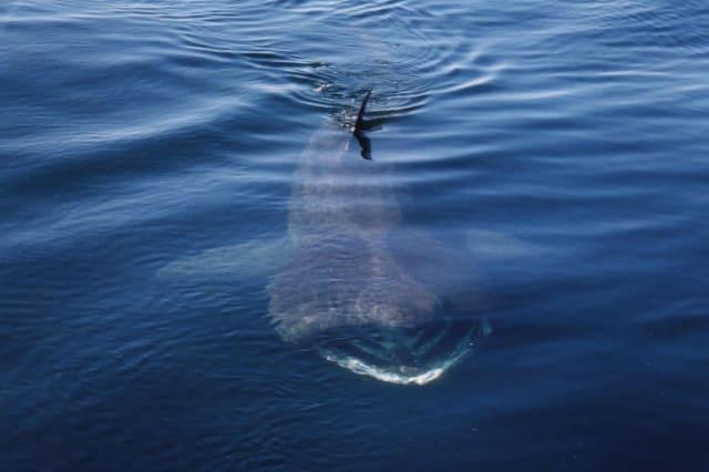 Basking sharks numbers increase in UK Seas
