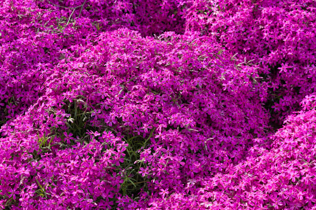 Here's what the 'Pink Moss' plant looks