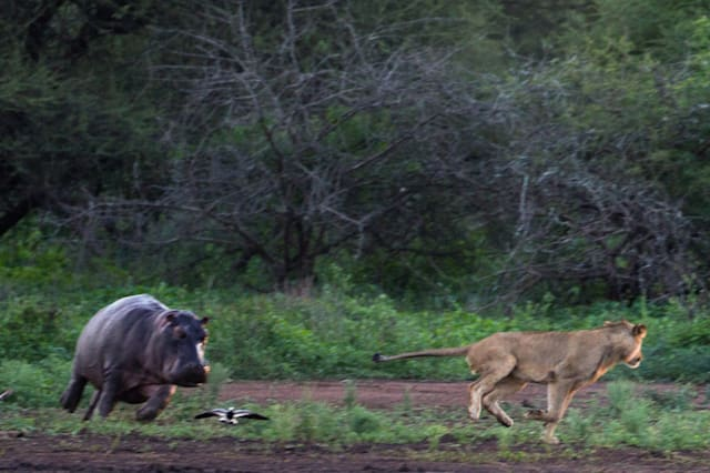 *** VIDEO AVAILABLE ***PIC 14 OF 16KRUGER NATIONAL PARK; SOUTH AFRICA - 12 JANUARY 2015: The super-sized mum decides to fight back and chases the lion away on January 12, 2015 at Kruger National Park.A lion bit off more than he could chew when he attacked a hippo calf in Kruger National Park. Two fierce lions attacked a herd of hippos as they emerged from a day of wallowing in the water. One of the beasts leaped on a hippo calf, but the powerful predator was forced to turn tail when confronted by the calf?s angry mother. Photographer Duncan Fraser captured the encounter at Sunset Dam on his way back to camp at dusk.PHOTOGRAPH BY Greatstock / Barcroft MediaUK Office, London.T +44 845 370 2233W www.barcroftmedia.comUSA Office, New York City.T +1 212 796 2458W www.barcroftusa.comIndian Office, Delhi.T +91 11 4053 2429W www.barcroftindia.com