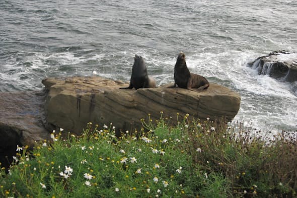 sea lions at La Jolla Cove, San Diego, California (20)