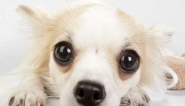 amazing chihuahua eyes very...