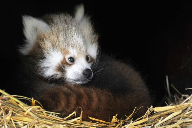 Whipsnade's red pandas emerge for the first time