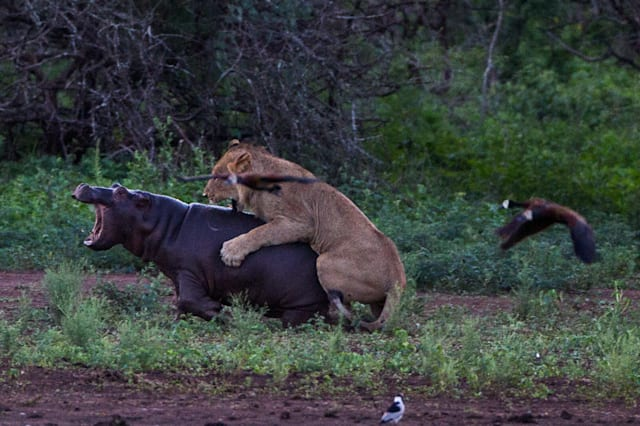 *** VIDEO AVAILABLE ***PIC 12 OF 16KRUGER NATIONAL PARK; SOUTH AFRICA - 12 JANUARY 2015: The baby hippo is brought to its knees by the assault on January 12, 2015 at Kruger National Park.A lion bit off more than he could chew when he attacked a hippo calf in Kruger National Park. Two fierce lions attacked a herd of hippos as they emerged from a day of wallowing in the water. One of the beasts leaped on a hippo calf, but the powerful predator was forced to turn tail when confronted by the calf?s angry mother. Photographer Duncan Fraser captured the encounter at Sunset Dam on his way back to camp at dusk.PHOTOGRAPH BY Greatstock / Barcroft MediaUK Office, London.T +44 845 370 2233W www.barcroftmedia.comUSA Office, New York City.T +1 212 796 2458W www.barcroftusa.comIndian Office, Delhi.T +91 11 4053 2429W www.barcroftindia.com
