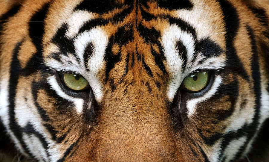 Tiger numbers are
