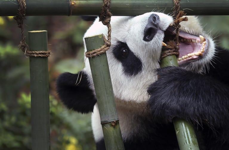 Singapore River Safari Zoo Pandas