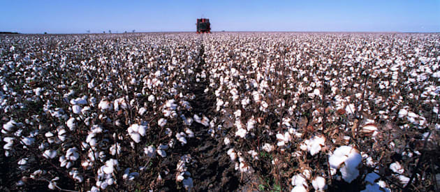 Cotton in northern NSW. The crop requires more water than