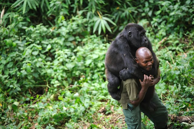Ranger gives gorilla a hug after parents killed by poachers