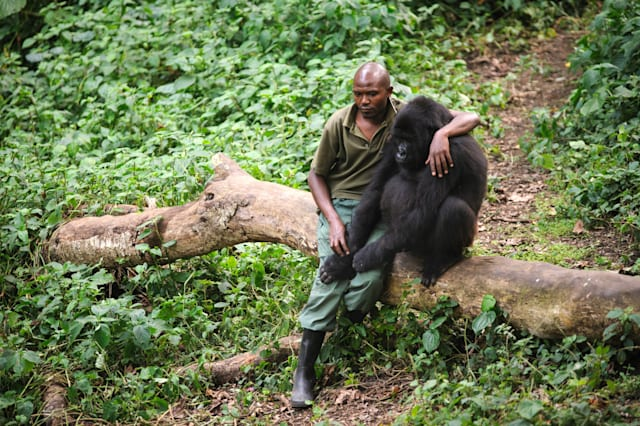 Park ranger hugs orphaned gorilla Democratic Republic of Congo