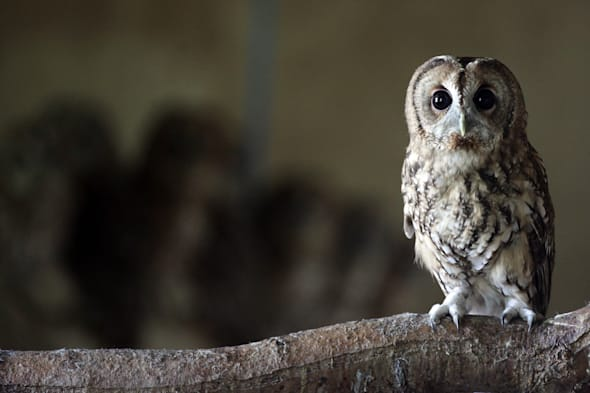 Rescued Baby Tawny Owls Prepare To Be Released
