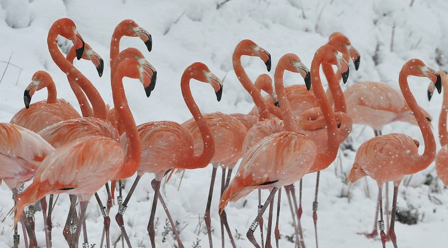 Flamingos are born grey but they eat algae that contains a pink pigment and molecules are deposited in...