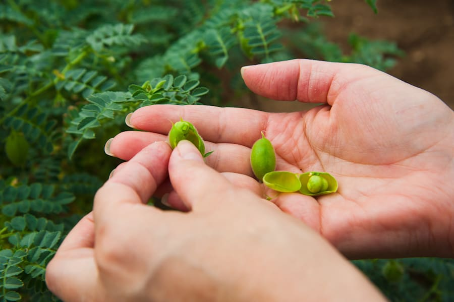 This is how chickpeas