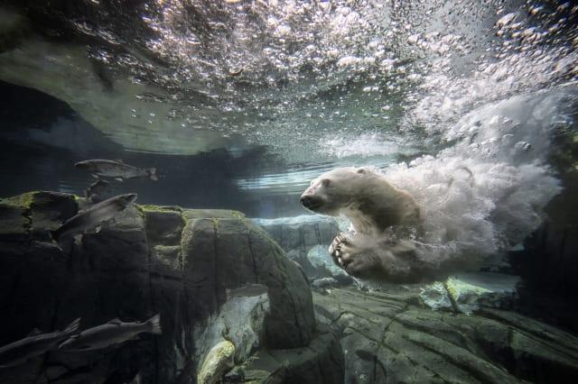 Polar bear dies of 'broken heart' at San Diego zoo