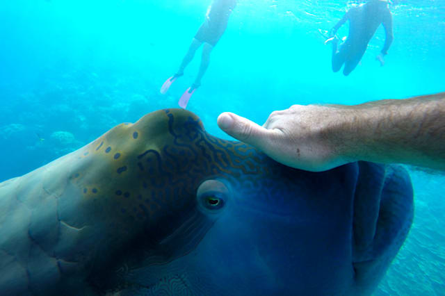 Double headed wrass, Lord Howe Island Marine Park