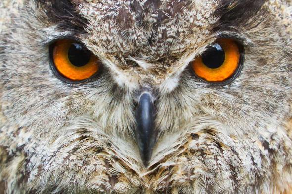 angry eagle owl
