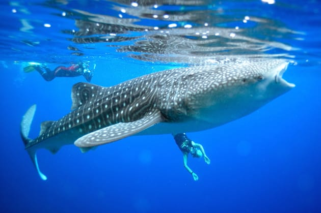 Christmas Island is one of the few places in the world where you can dive with whale