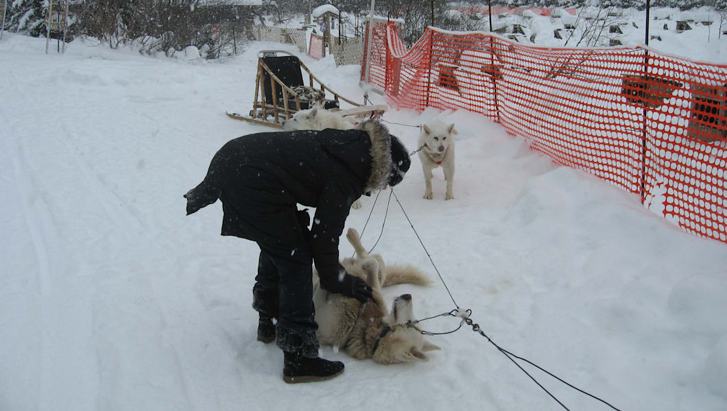 Even sled dogs like belly rubs!