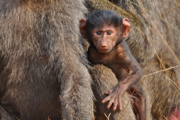 You might see a baby olive baboon in Akagera National Park,