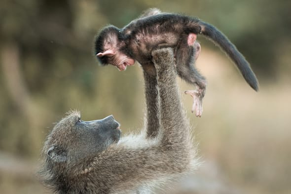 Mother baboon plays with baby at Kruger National Park