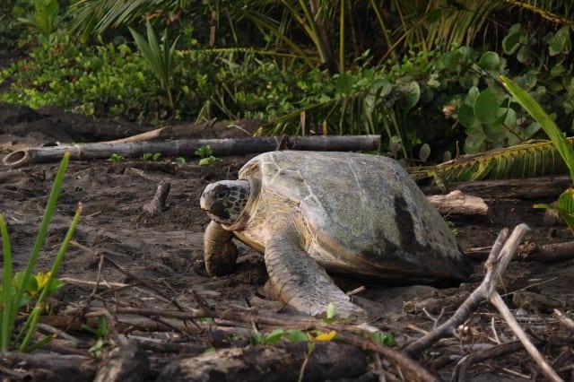 sea turtle diggin in the sand...