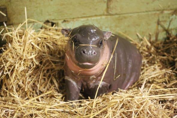 Rare baby pygmy born at Whipsnade Zoo (cute pics)