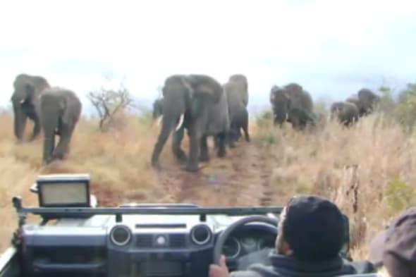 Elephants charge car