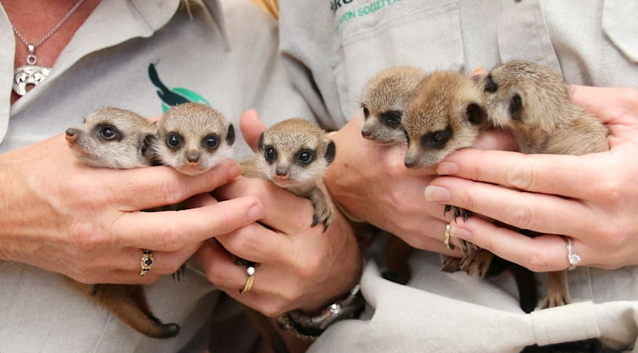Largest Ever Meerkat Litter At Taronga Pop Out To Say