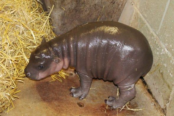 pygmy hippo born at Whipsnade Zoo