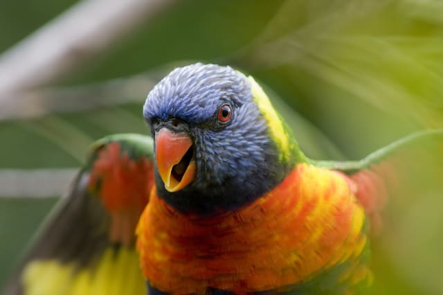 Crazed Rainbow Lorikeet