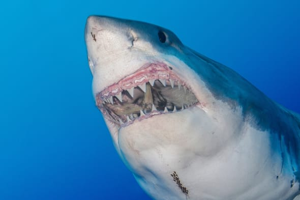 Great white shark: how to avoid getting attacked