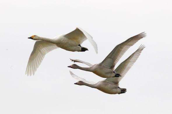 Berwick swans finally arrive -heralding the latest start to winter since 1969