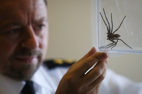 Huntsman spider found in East Sussex