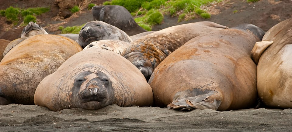 There are no bikini diets for the elephant seals on Macquarie