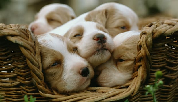 Spaniel puppies in a basket.