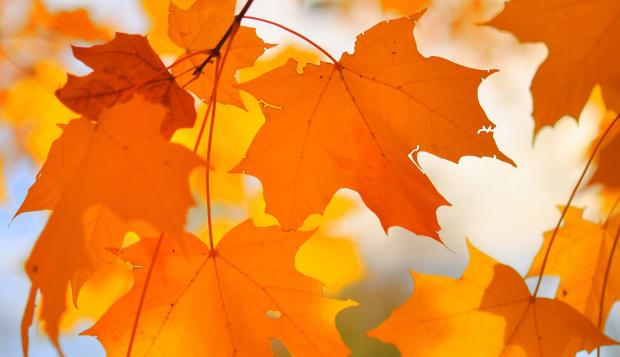 Orange maple leaves in autumn.