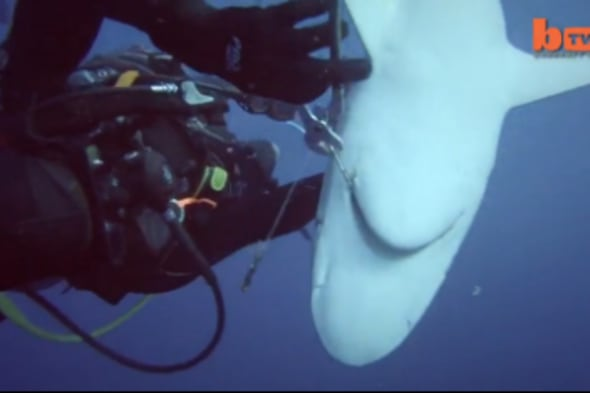 Brave Divers Remove Hooks From Sharks