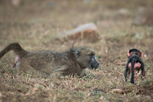 baboon plays with baby at kruger national park