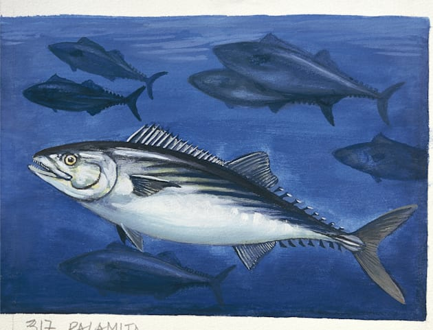 This is an Atlantic bonito, which is similar to a tuna and tastes like tuna but is not tuna. But we put...