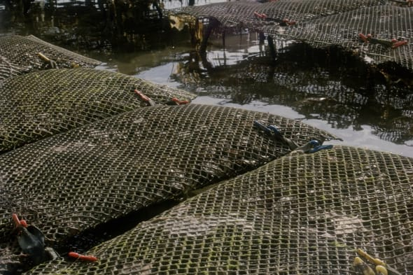 Oyster beds at low tide - Weymouth, Dorset